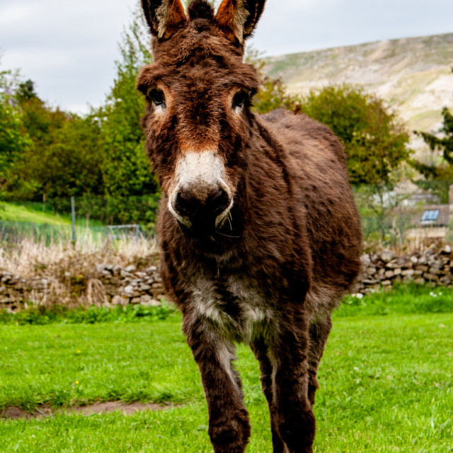 """Donkey Posing for the Camera"" stock image"