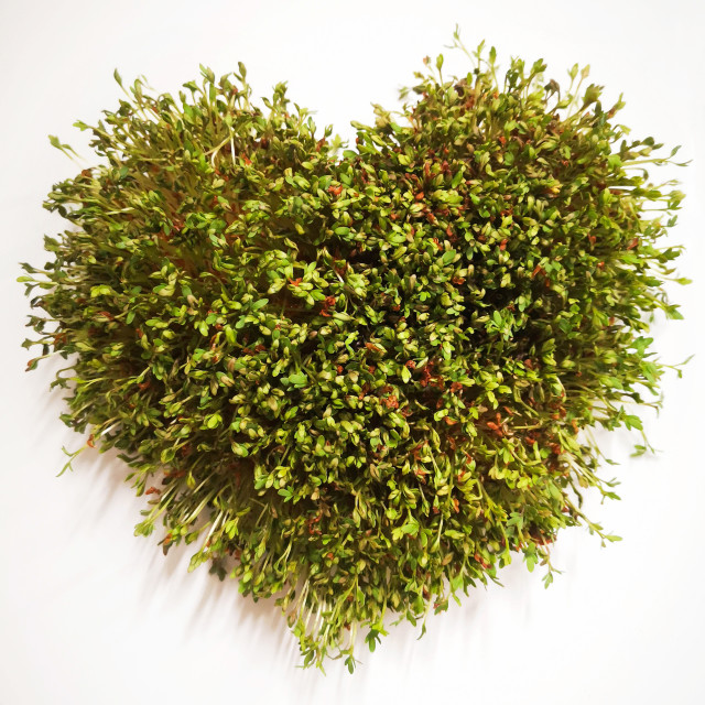 """""""Heart formed by garden cress"""" stock image"""