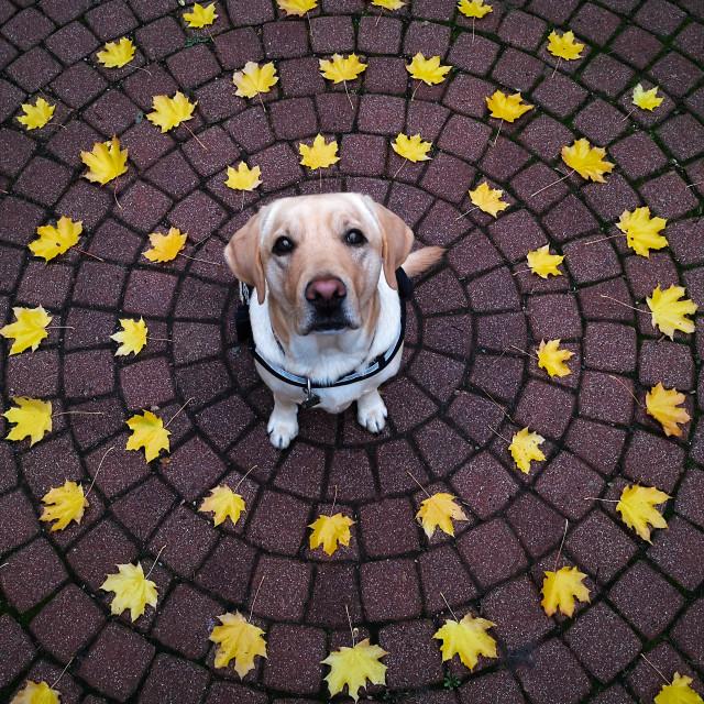 """A Labrador Retriever dog encircled by yellow laves."" stock image"
