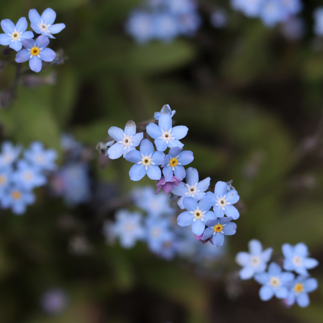 """""""Forget me not."""" stock image"""