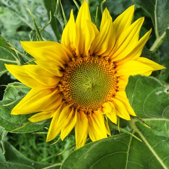 """""""Open sunflower"""" stock image"""