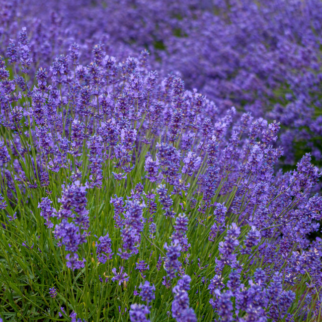 """Profusion of lavender"" stock image"