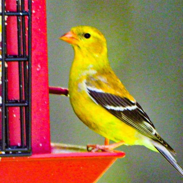 """""""American Goldfinch (Male)"""" stock image"""