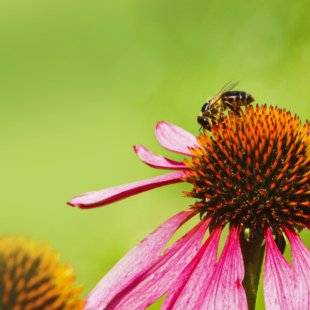 """""""Honey Bee is collecting nectar on a pink/orange flower"""" stock image"""