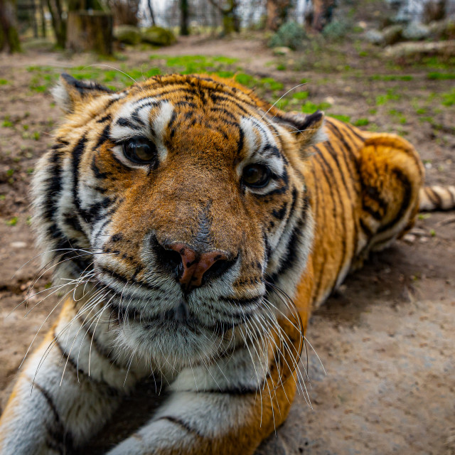 """""""Close up portrait of a tiger"""" stock image"""