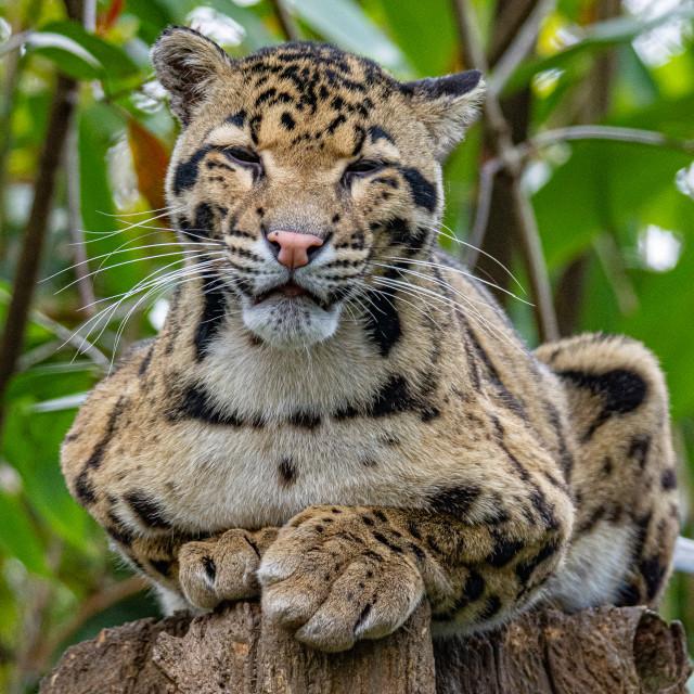 """Portrait of Clouded Leopard"" stock image"