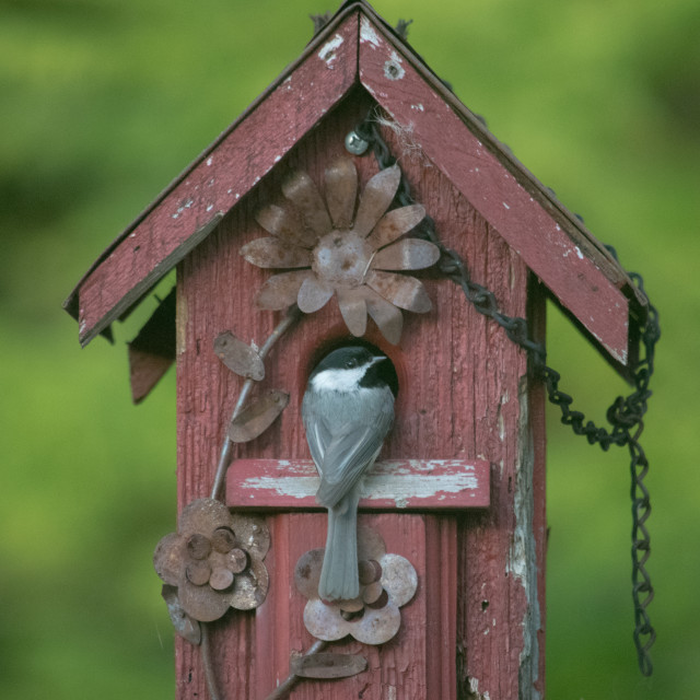 """Nesting box with Chickadee"" stock image"