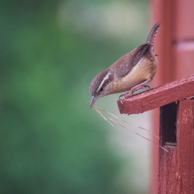 """Carolina Wren"" stock image"