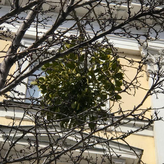 """Bratislava Mistletoe"" stock image"