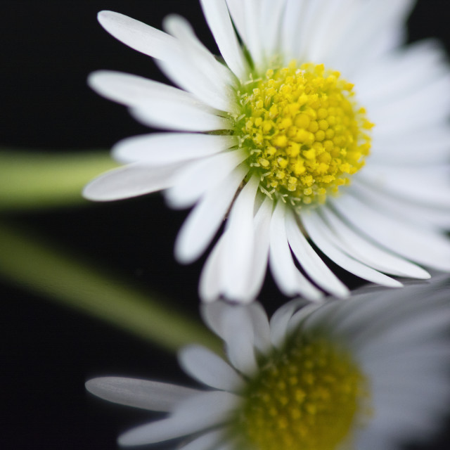 """Beautiful Daisy 2"" stock image"