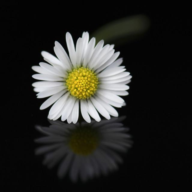 """Beautiful Daisy 1"" stock image"