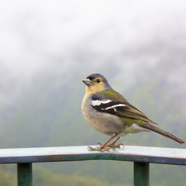 """Madeira chaffinch bird, fingilla coelebs madeirensis"" stock image"