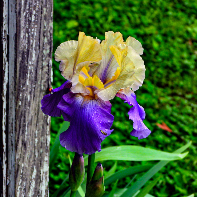 """Bearded Iris"" stock image"