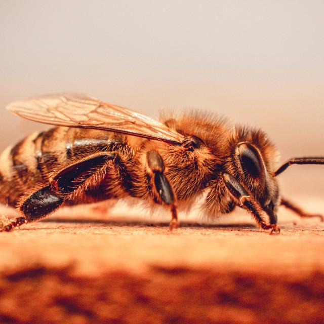 """Honey bee in detail"" stock image"