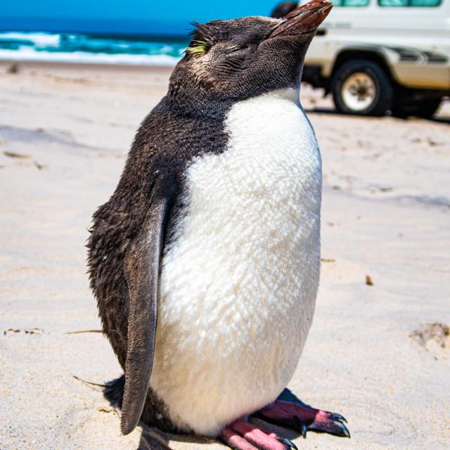"""""""Rock Hopper Penguin"""" stock image"""