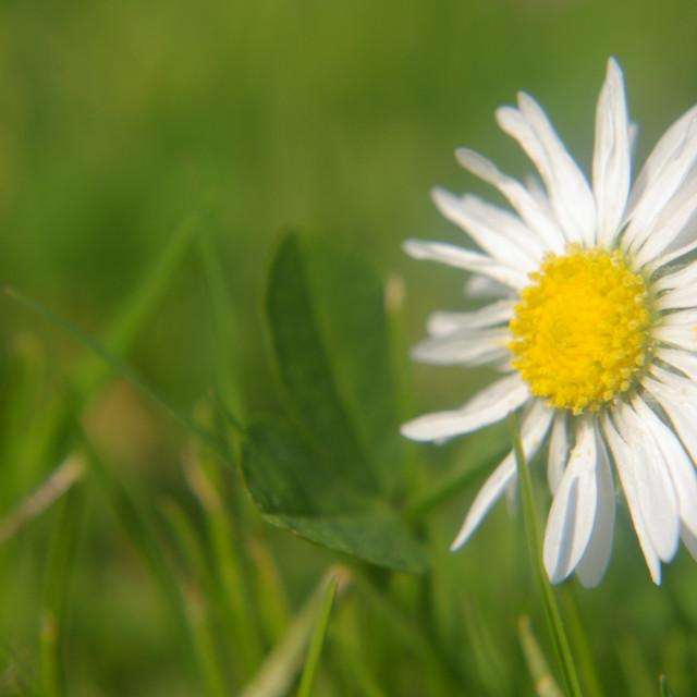 """""""Daisy Macro"""" stock image"""