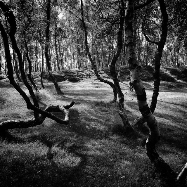 """""""Sunlight and shadows in Silver Birch Forest"""" stock image"""