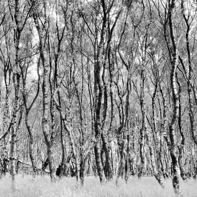 """Silver Birch Forest, Derbyshire, Uk"" stock image"