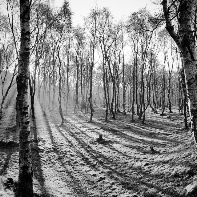 """Sunlight through Silver Birch trees"" stock image"