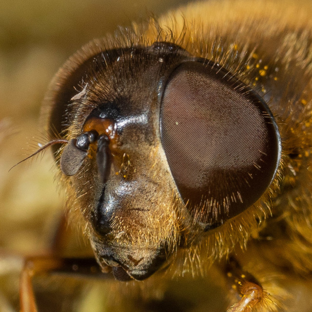 """""""Eristalis pertinax The hoverfly"""" stock image"""