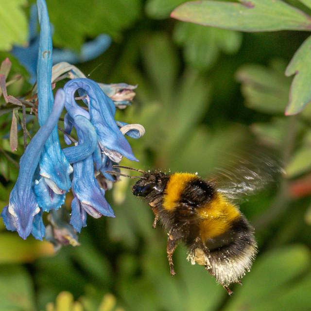 """Bombus hotorum the garden bumblebee"" stock image"