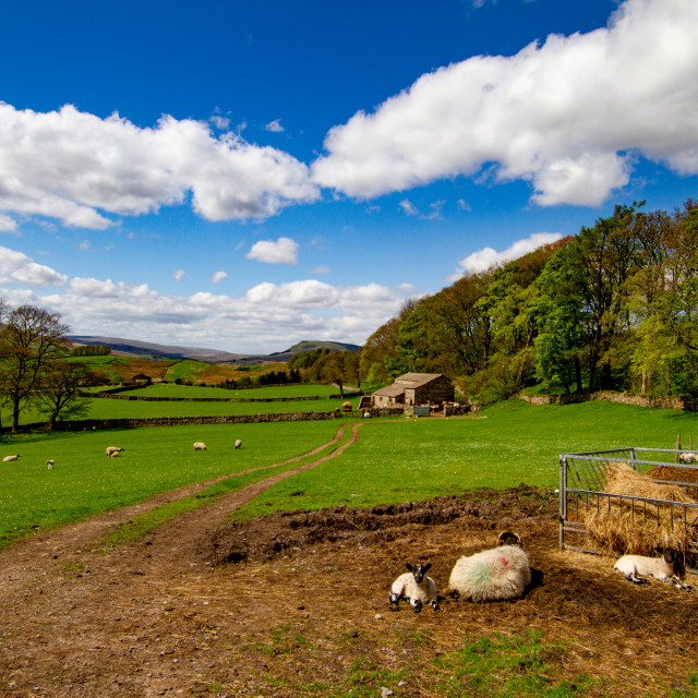"""""""Swaledale Sheep in Yorkshire Dales Meadow"""" stock image"""
