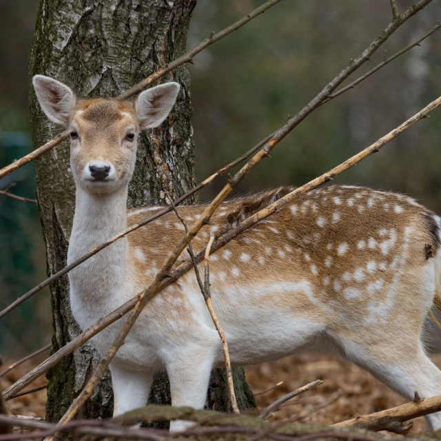 """""""fallow deer in the branches of a wood watching me"""" stock image"""