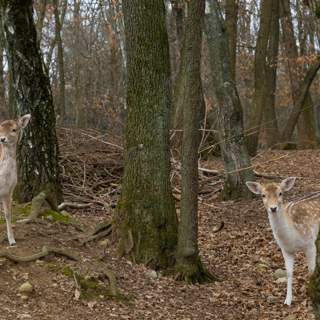 """""""Fallow deer in the trees of an autumn forest"""" stock image"""