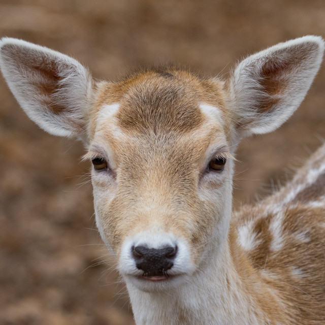 """""""Portrait of young fallow deer in an autumn forest"""" stock image"""