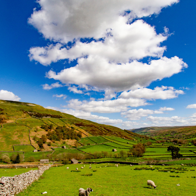 """""""Swaledale Meadow with Sheep Grazing"""" stock image"""