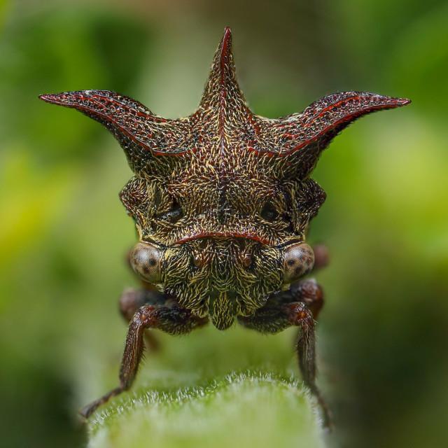 """""""Tri-horned Treehopper"""" stock image"""