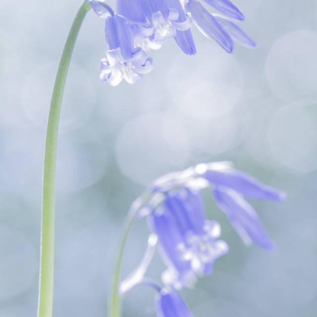 """Cool Bluebells"" stock image"