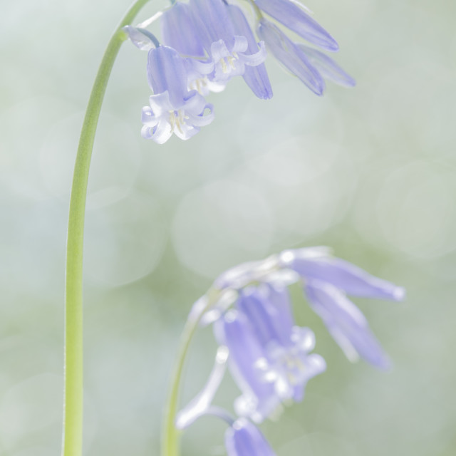 """Dreams Of Bluebells"" stock image"