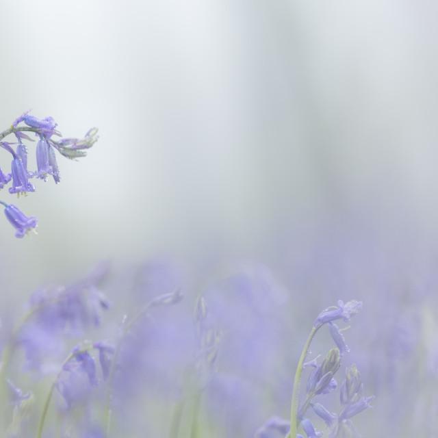 """Misty Bluebells"" stock image"