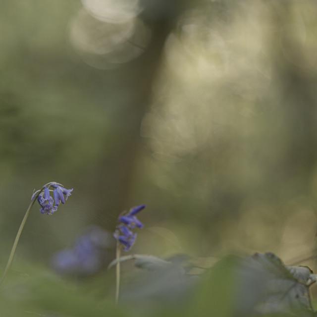 """""""Woodland Bluebells"""" stock image"""