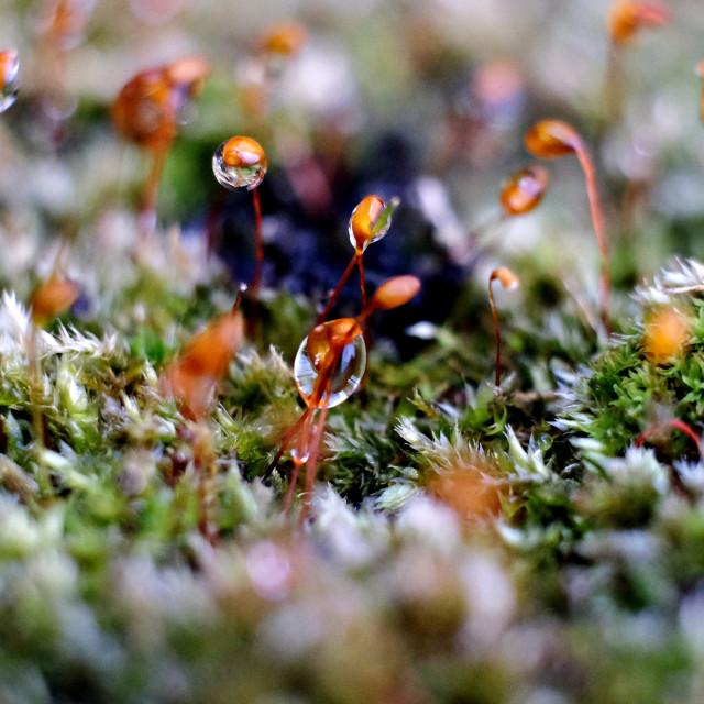 """Droplets On Moss Macro Image"" stock image"