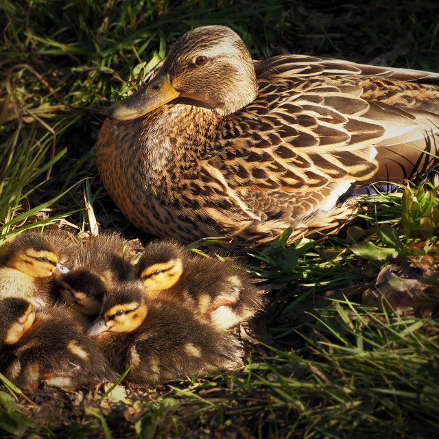 """Female Mallard with young"" stock image"