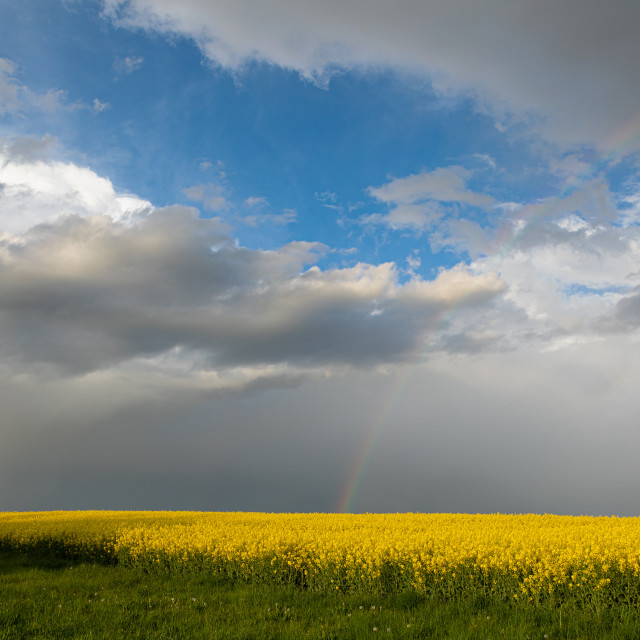 """""""Colza. Seeds. Oil. Spring. Field. Stormy Sky"""" stock image"""