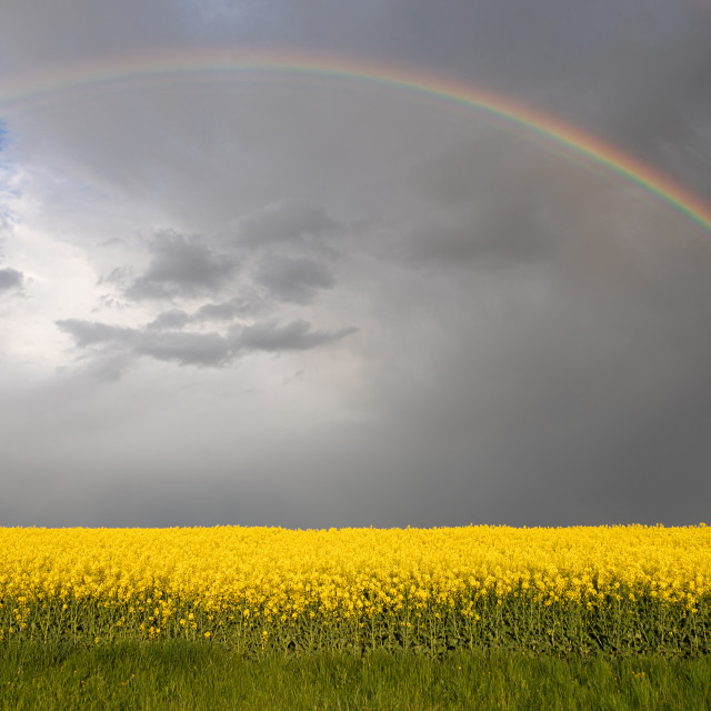 """""""Colza Seeds. Oil. Spring. Field. Stormy Sky"""" stock image"""