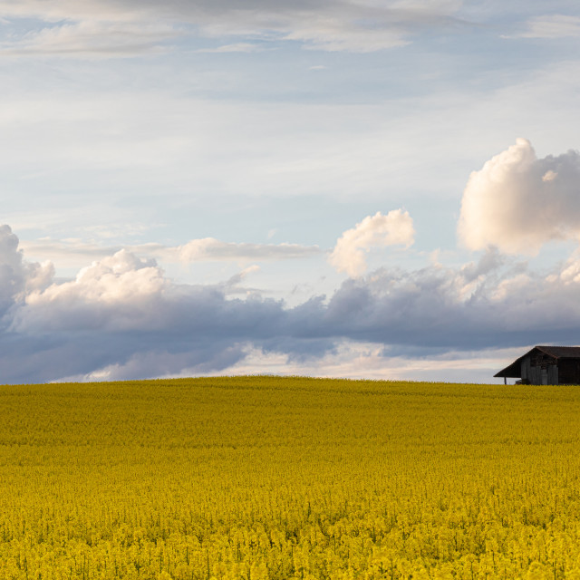 """""""Field. Colza Seeds. Oil. Spring. Stormy. Sky"""" stock image"""