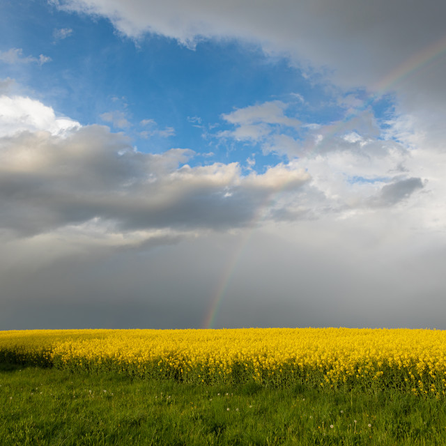 """""""Colza Seeds. Oil. Spring. Field. Stormy. Sky"""" stock image"""