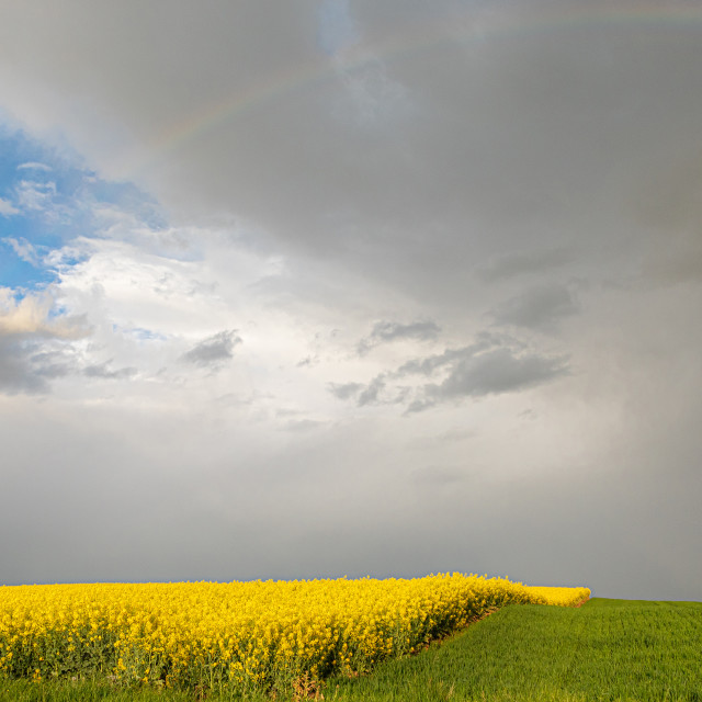 """""""Spring. Colza Seeds. Oil. Field. Stormy Sky"""" stock image"""