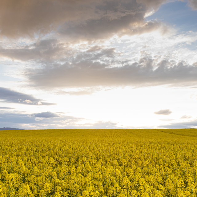 """""""Field. Colza. Seeds. Oil. Spring. Stormy. Sky"""" stock image"""