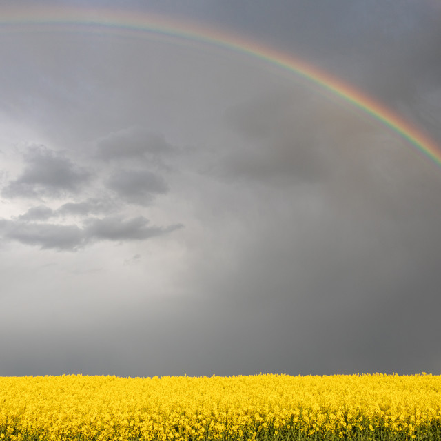 """""""Spring. Colza. Seeds. Oil. Field. Stormy. Sky"""" stock image"""