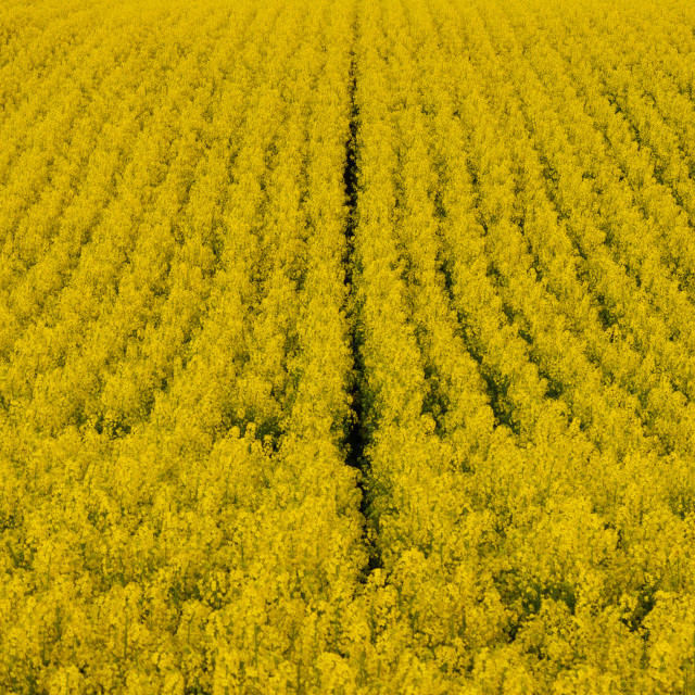 """""""Yellow. Colza. Field. Seed. Spring. Rural"""" stock image"""