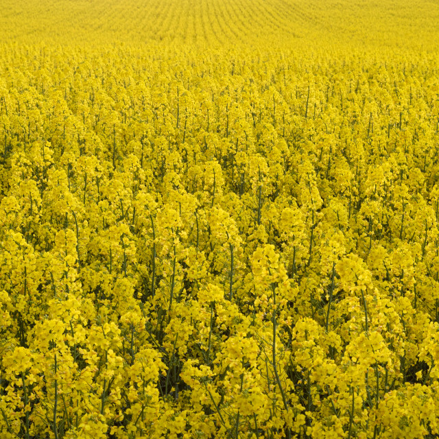 """""""Yellow. Colza Field. Seed. Spring. Rural"""" stock image"""