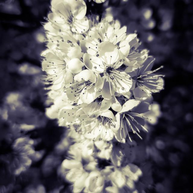 """""""Blackthorne blossom"""" stock image"""
