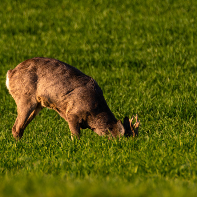 """Male deer foraging in a young crop"" stock image"