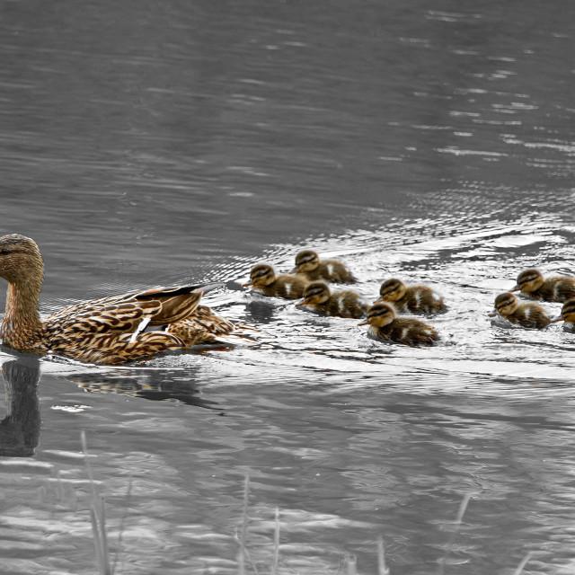 """Ducks"" stock image"