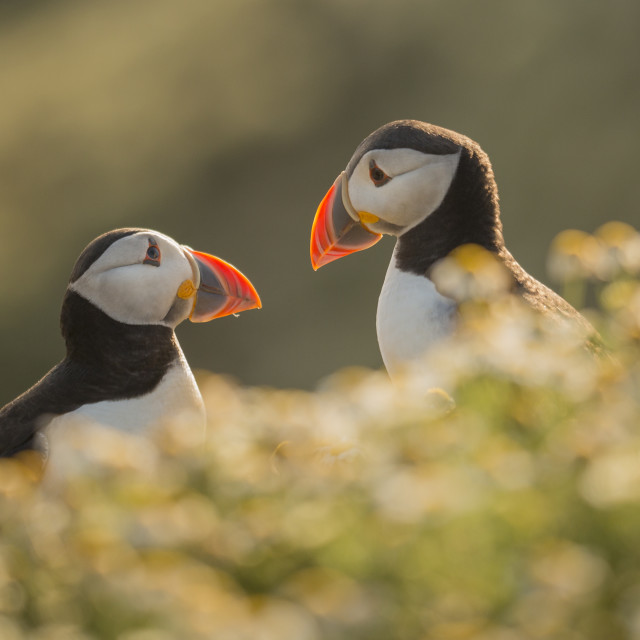 """Puffin Pair"" stock image"